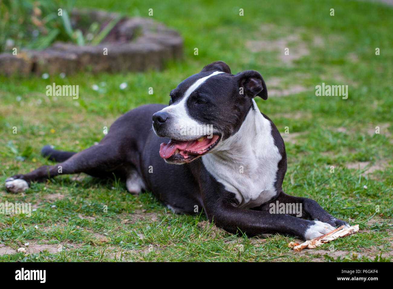 Portrait of  Staffordshire Terrier lying on the grass. - Stock Image