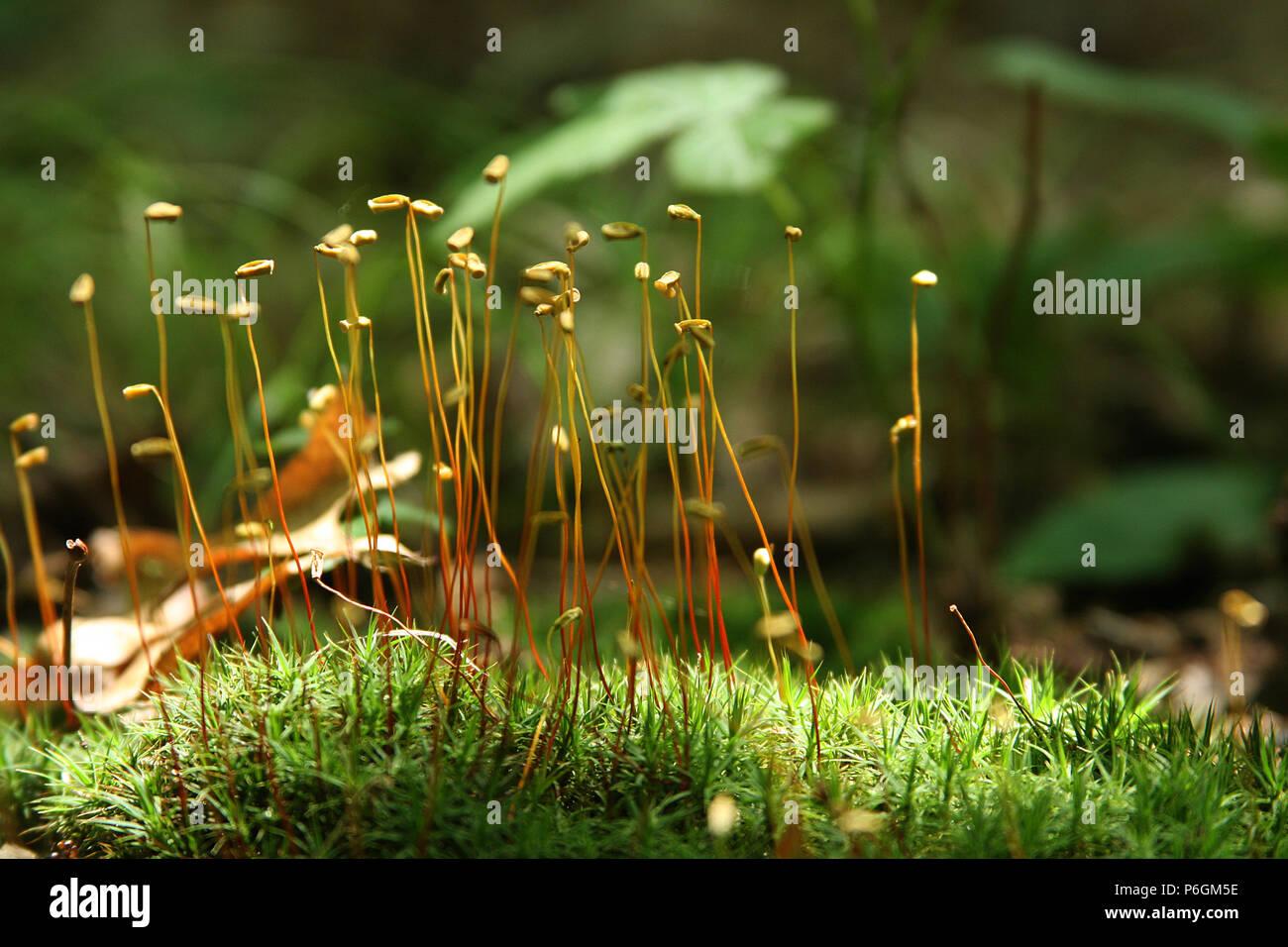 Moss Spores Stock Photos & Moss Spores Stock Images - Alamy