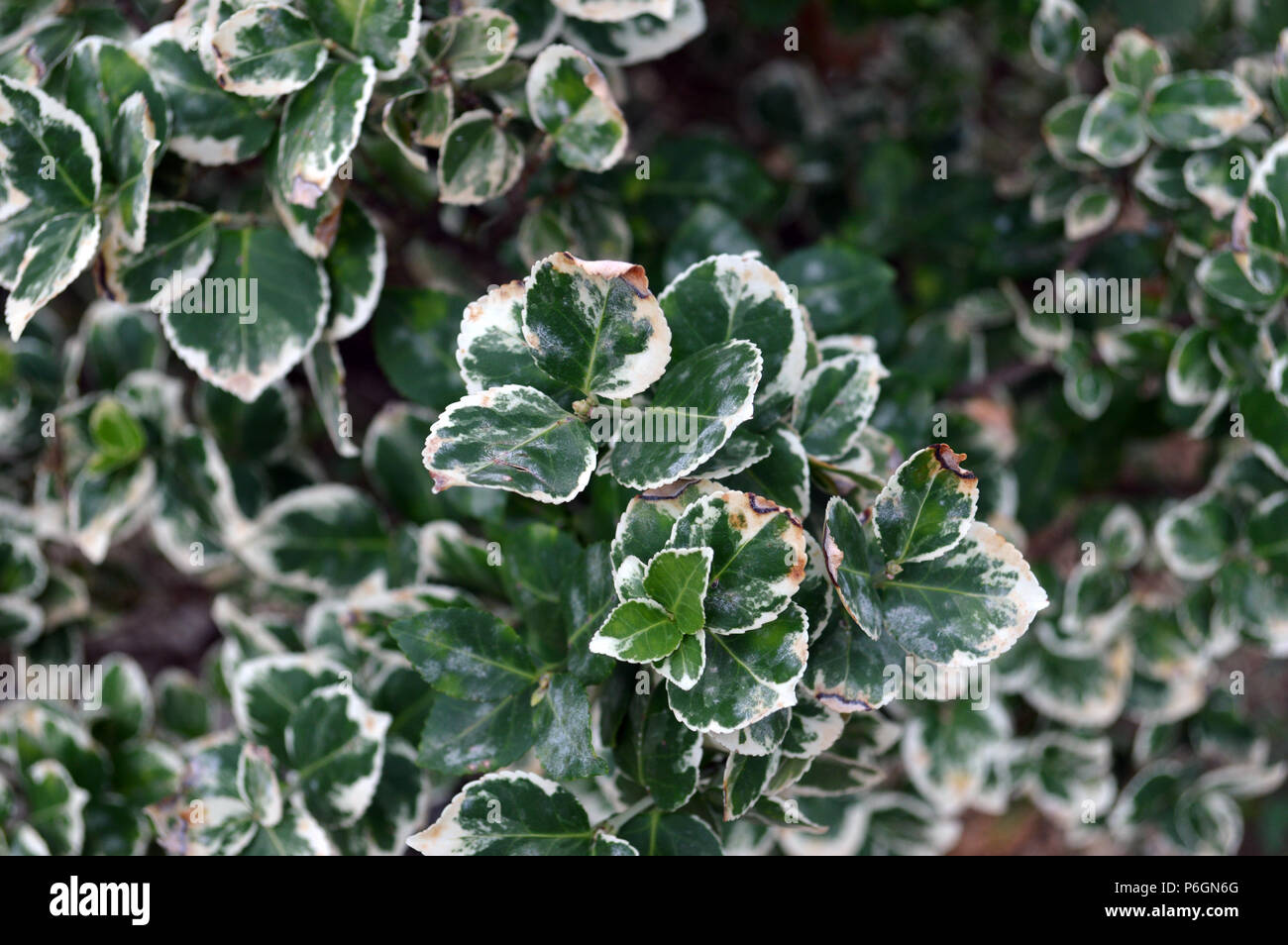 Emerald 'N Gold shrub close up detail - Stock Image