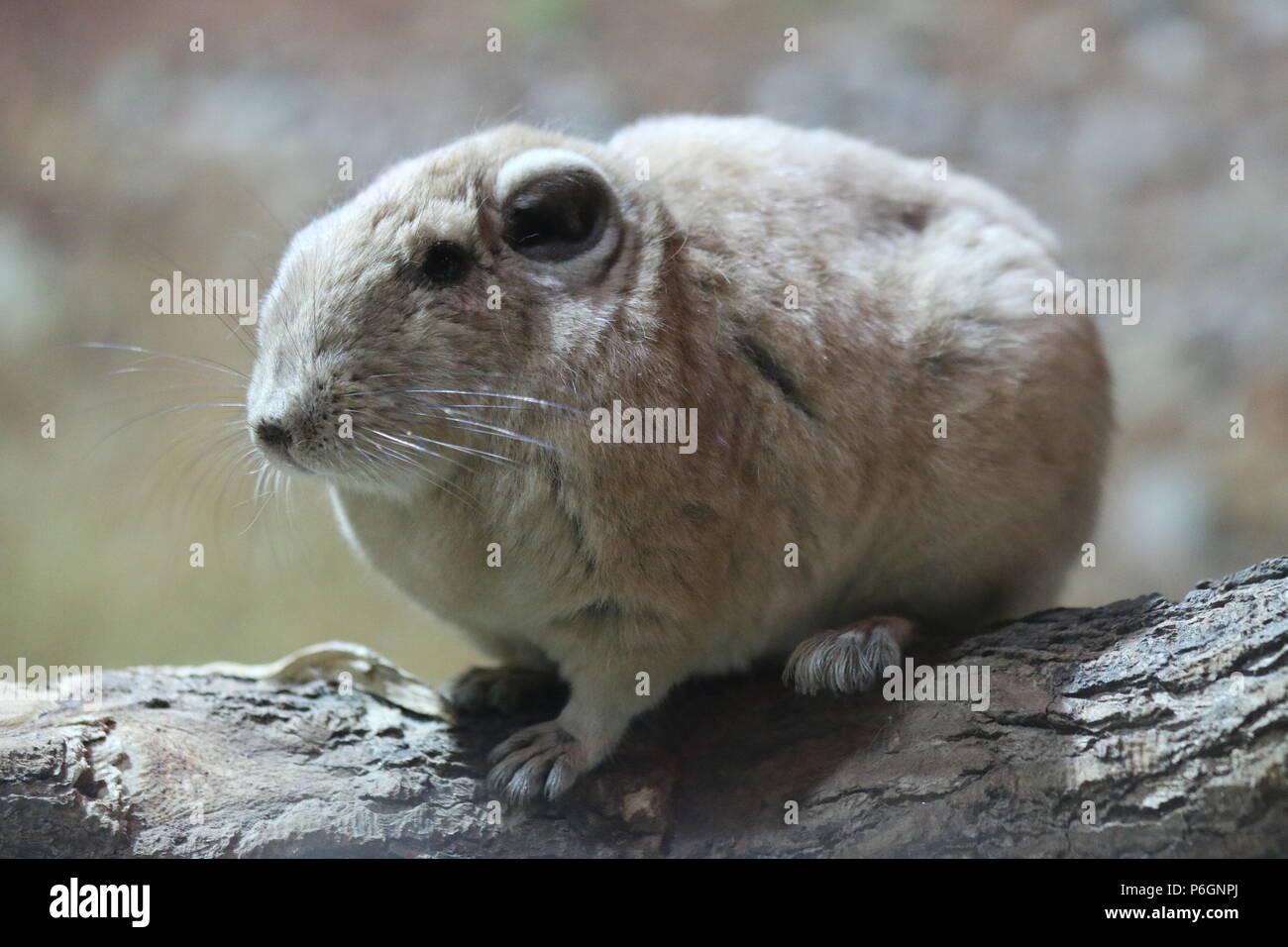 Common gundi - Ctenodactylus gundi - Stock Image