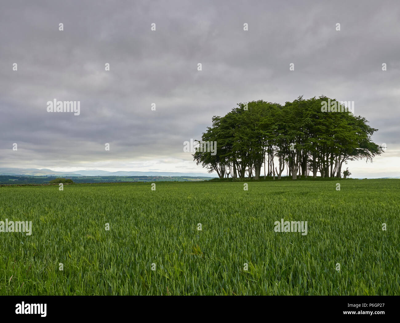 Mature Trees on a slightly raised Ground Feature in a Wheat Field near Farnell in Angus, Scotland. - Stock Image