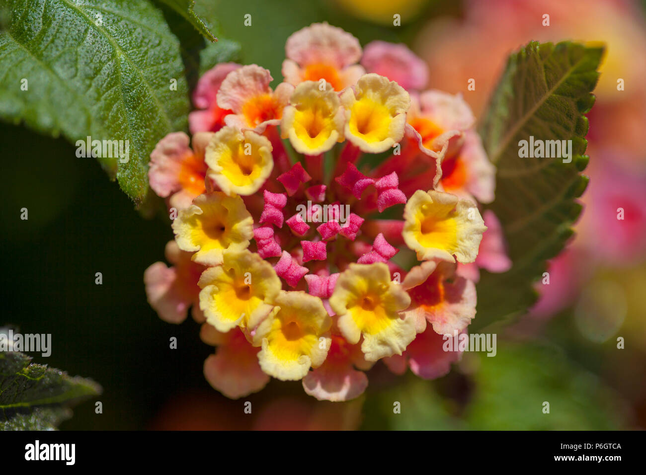 red and yellow Lantana camara flowers floral macro background Stock Photo