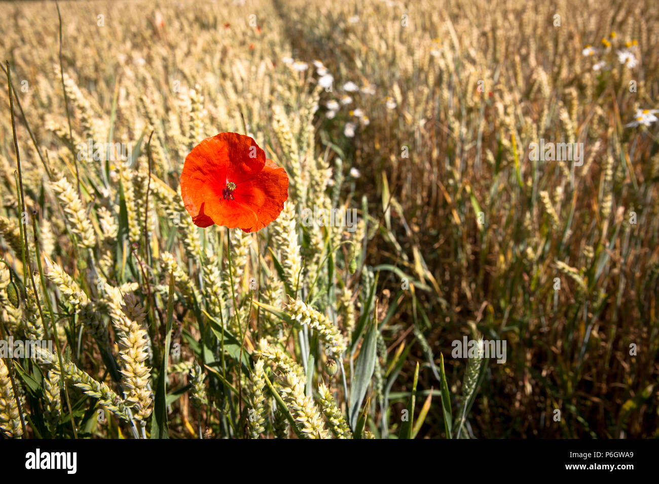 Germany, poppy flower in a cornfield, wheat.  Deutschland, Mohnbluete in einem Weizenfeld. Stock Photo