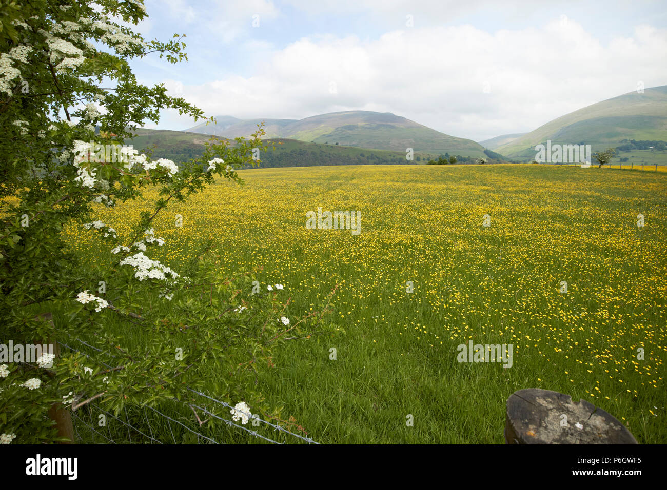 field of buttercups growing in farmland under crop rotation underskiddaw keswick cumbria england uk - Stock Image
