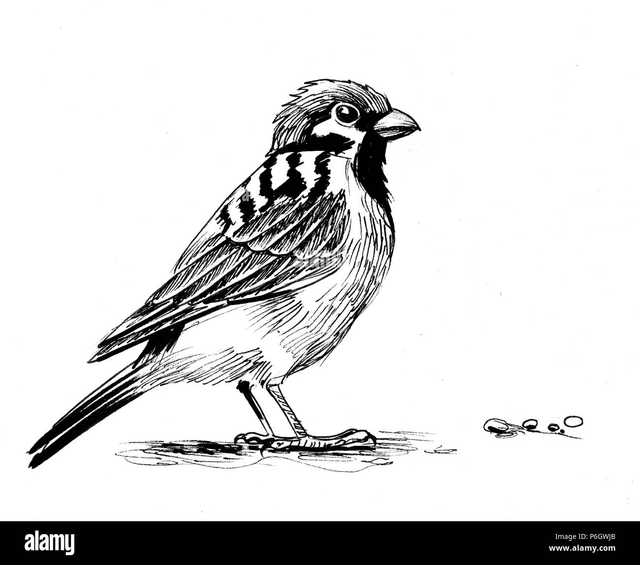 Sparrow bird ink black and white illustration stock photo