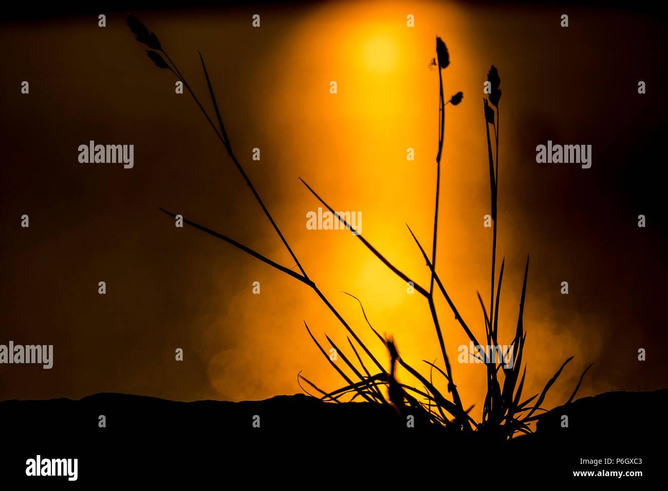 spider on cocksfoot grass at sunset next to winscar reservoir, dunford bridge, peak district - Stock Image