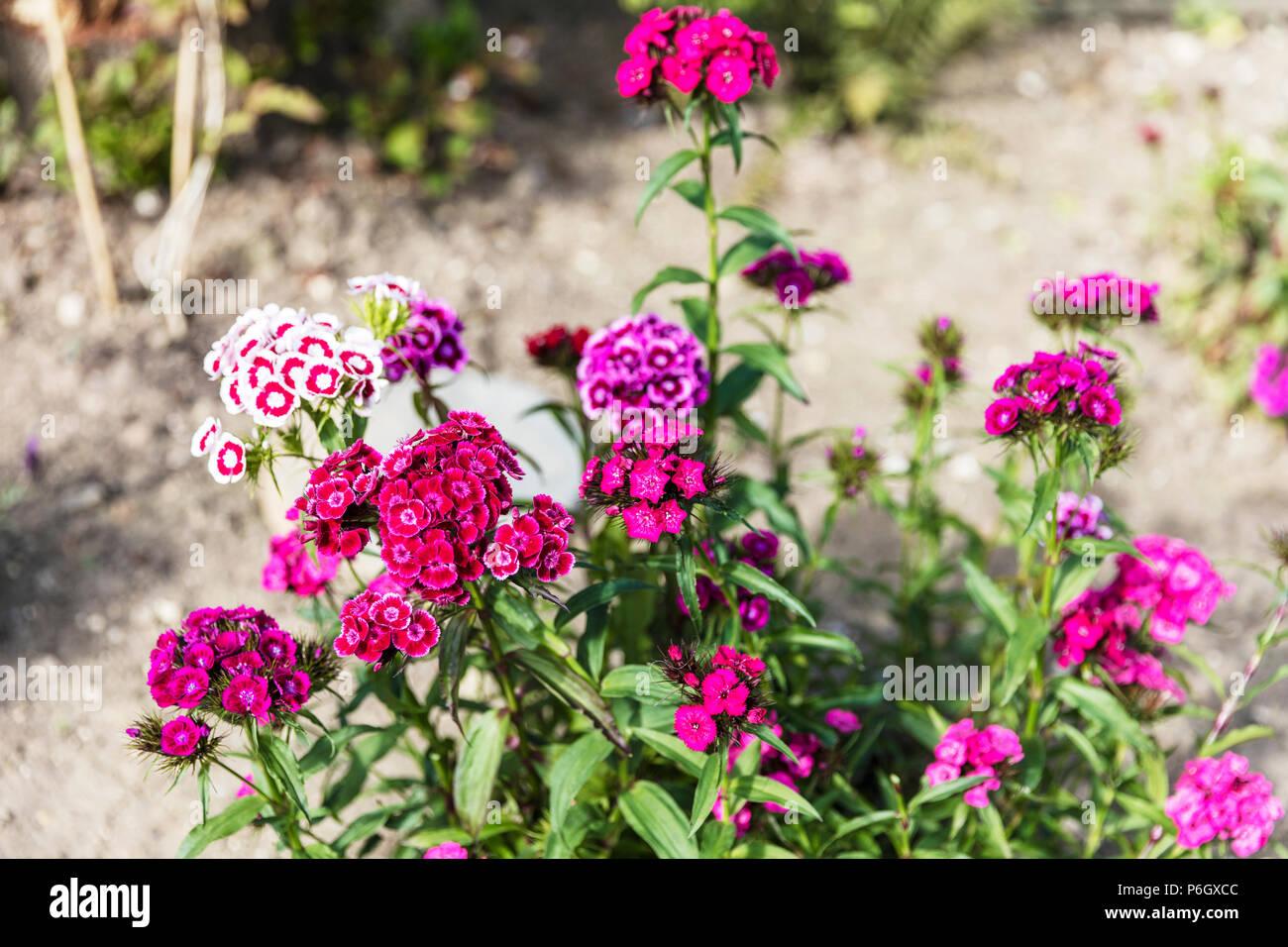 Sweet Williams flowers, Dianthus barbatus Sweet William flowers in Summer, Sweet William plants, flowering Sweet William plants, flowers, plants, - Stock Image