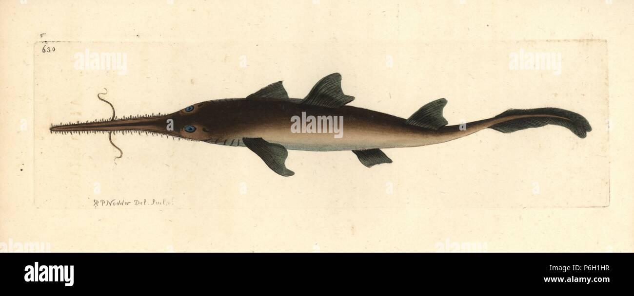 longnose sawshark pristiophorus cirratus tentaculated shark
