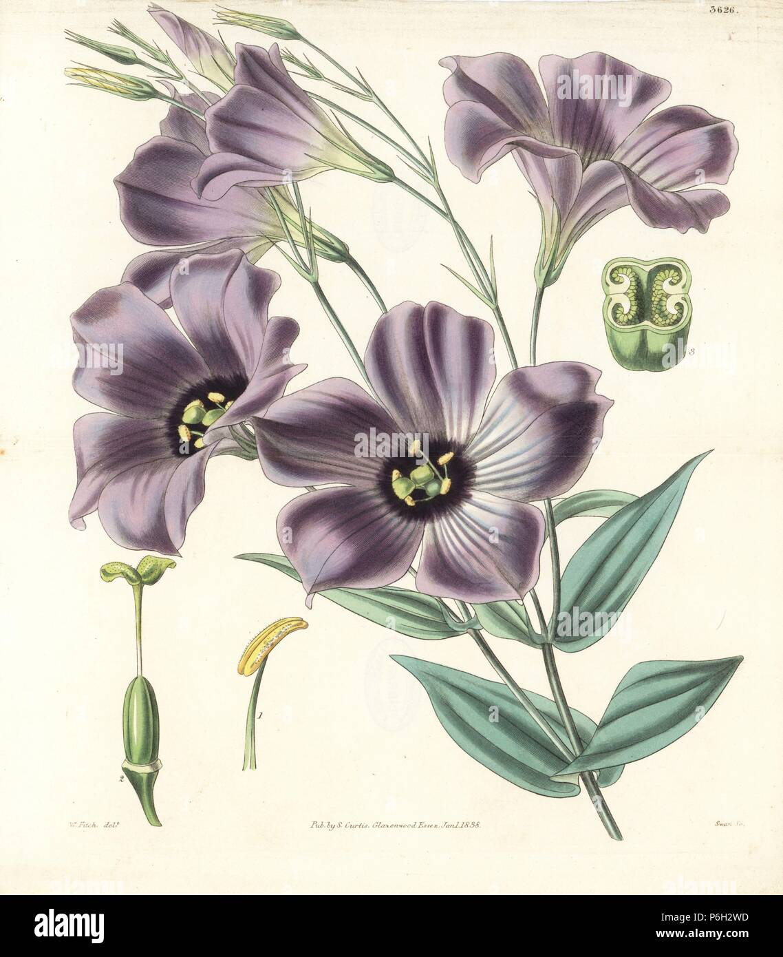 Texas bluebells, Eustoma grandiflorum (Duke of Bedford's lisianthus, Lisianthus russellianus). Handcoloured copperplate engraving after a botanical illustration by Walter Fitch from William Jackson Hooker's Botanical Magazine, 1838. - Stock Image