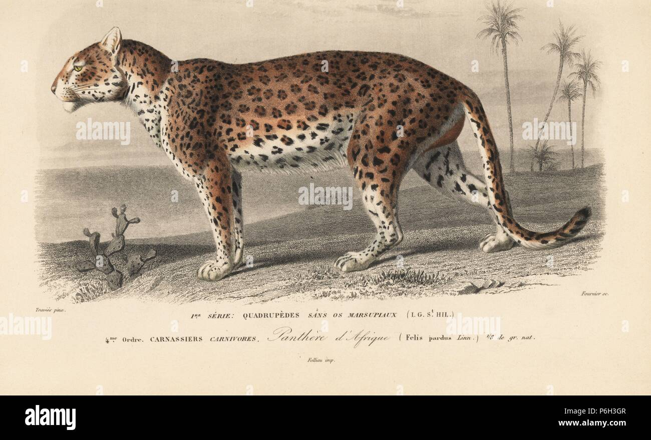 Leopard, Panthera pardus. Handcolored engraving by Fournier after an illustration by Edouard Travies from Charles d'Orbigny's Dictionnaire Universel d'Histoire Naturelle (Dictionary of Natural History), Paris, 1849. Stock Photo