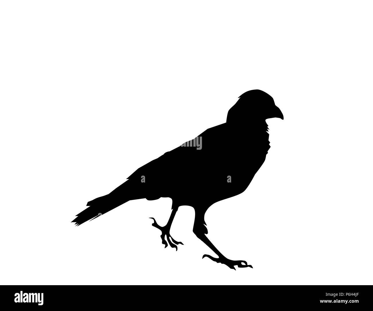 31e3a1c36e3c5 Raven bird black silhouette on white background, vector, eps 10 - Stock  Image