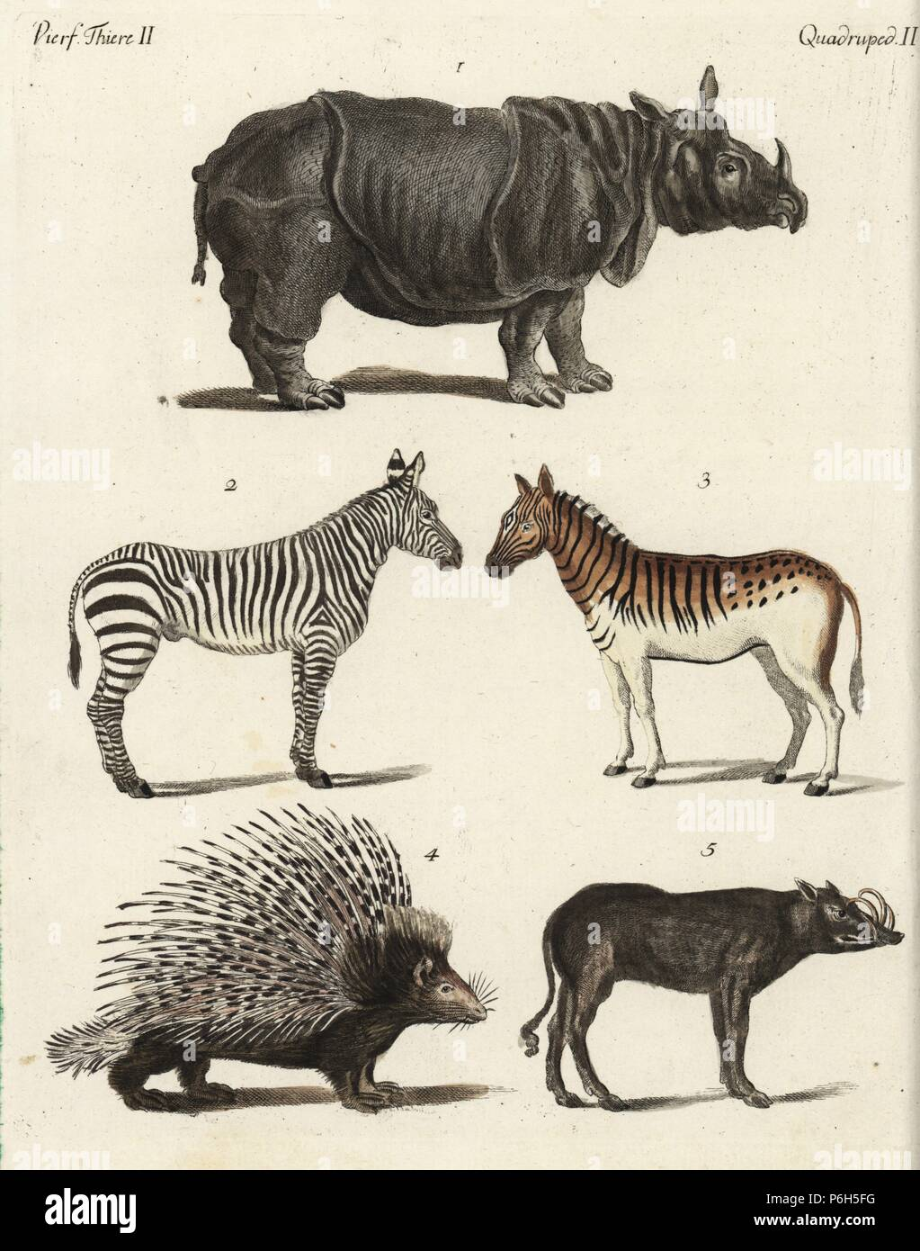 Indian rhinoceros, Rhinoceros unicornis, plains zebra, Equus quagga, male 2, female 3, Indian porcupine, Hystrix indica, and Sulawesi babirusa, Babyrousa celebensis. Handcoloured copperplate engraving from Bertuch's 'Bilderbuch fur Kinder' (Picture Book for Children), Weimar, 1792. Friedrich Johann Bertuch (1747-1822) was a German publisher and man of arts most famous for his 12-volume encyclopedia for children illustrated with 1,200 engraved plates on natural history, science, costume, mythology, etc., published from 1790-1830. - Stock Image