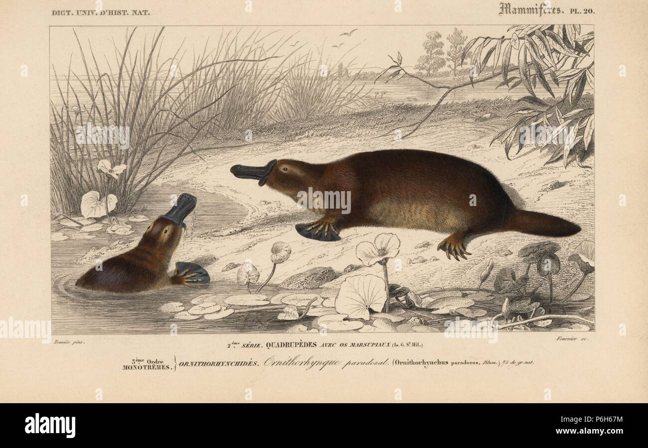 Platypus, Ornithorhynchus anatinus. Handcoloured engraving by Fournier after an illustration by Edouard Travies from Charles d'Orbigny's Dictionnaire Universel d'Histoire Naturelle (Dictionary of Natural History), Paris, 1849. Stock Photo