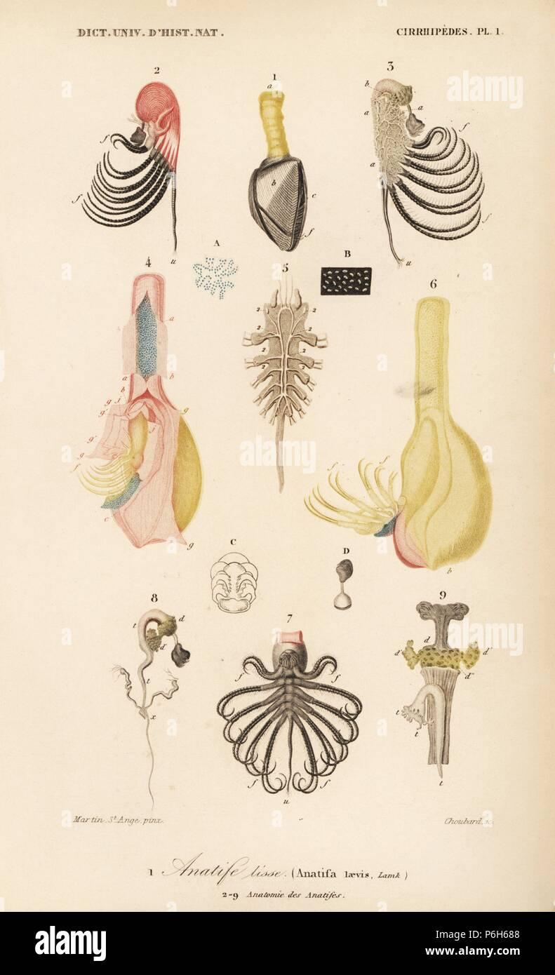 Pelagic Gooseneck Barnacle Lepas Anatifera Anatifa Laevis 1 And