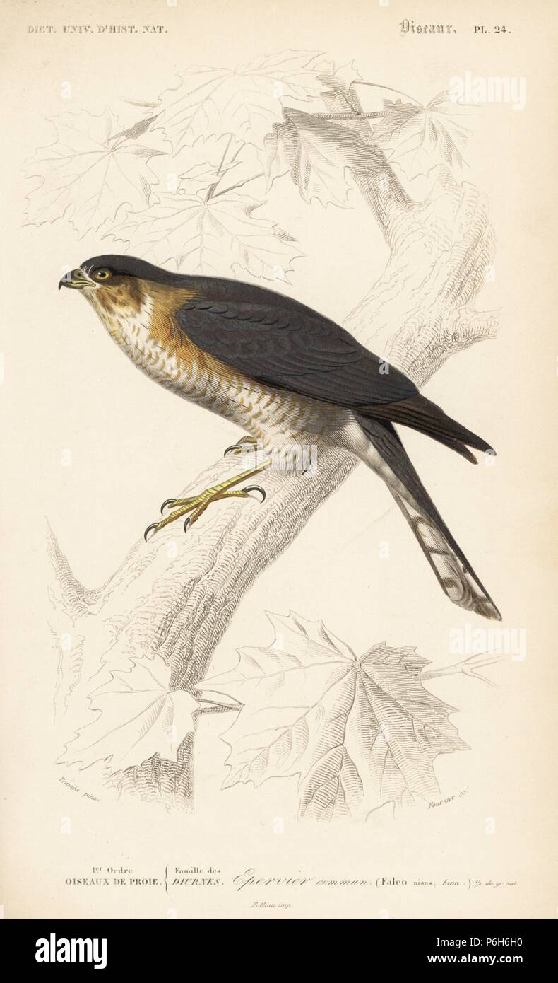 Eurasian sparrowhawk, Accipiter nisus. Handcoloured engraving by Fournier after an illustration by Edouard Travies from Charles d'Orbigny's Dictionnaire Universel d'Histoire Naturelle (Dictionary of Natural History), Paris, 1849. Stock Photo
