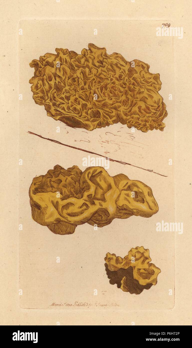 Plaited yellow tremella, Tremella mesenterica. Handcoloured copperplate engraving after a drawing by James Sowerby for James Smith's English Botany, 1800. - Stock Image