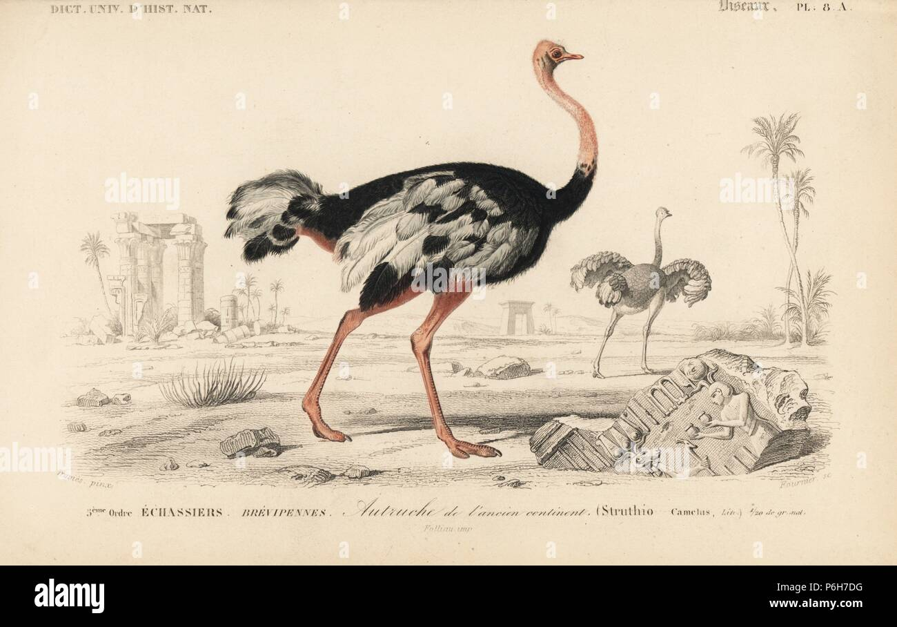 Common ostrich, Struthio camelus. Handcoloured engraving by Fournier after an illustration by Edouard Travies from Charles d'Orbigny's Dictionnaire Universel d'Histoire Naturelle (Dictionary of Natural History), Paris, 1849. Stock Photo