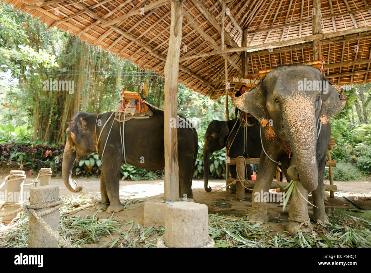 Domesticated elephants with rider saddle in Thailand. - Stock Image