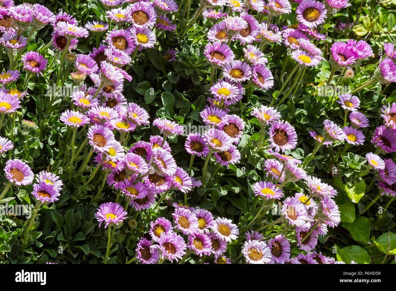 Seaside beach flowers Stock Photo