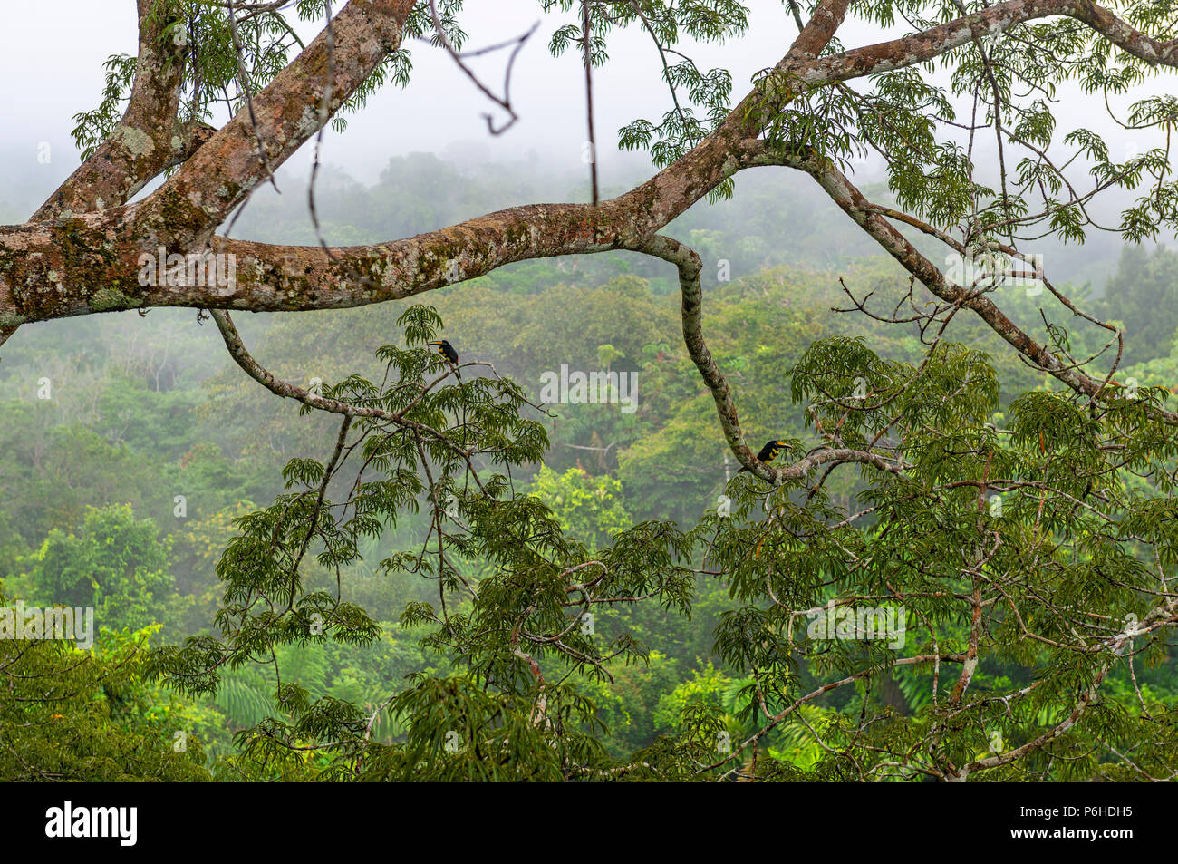The Amazon Rainforest in the fog seen from a observation platform in a Ceiba tree with two many-banded Aracari (Pteroglossus pluricinctus), Yasuni NP. - Stock Image