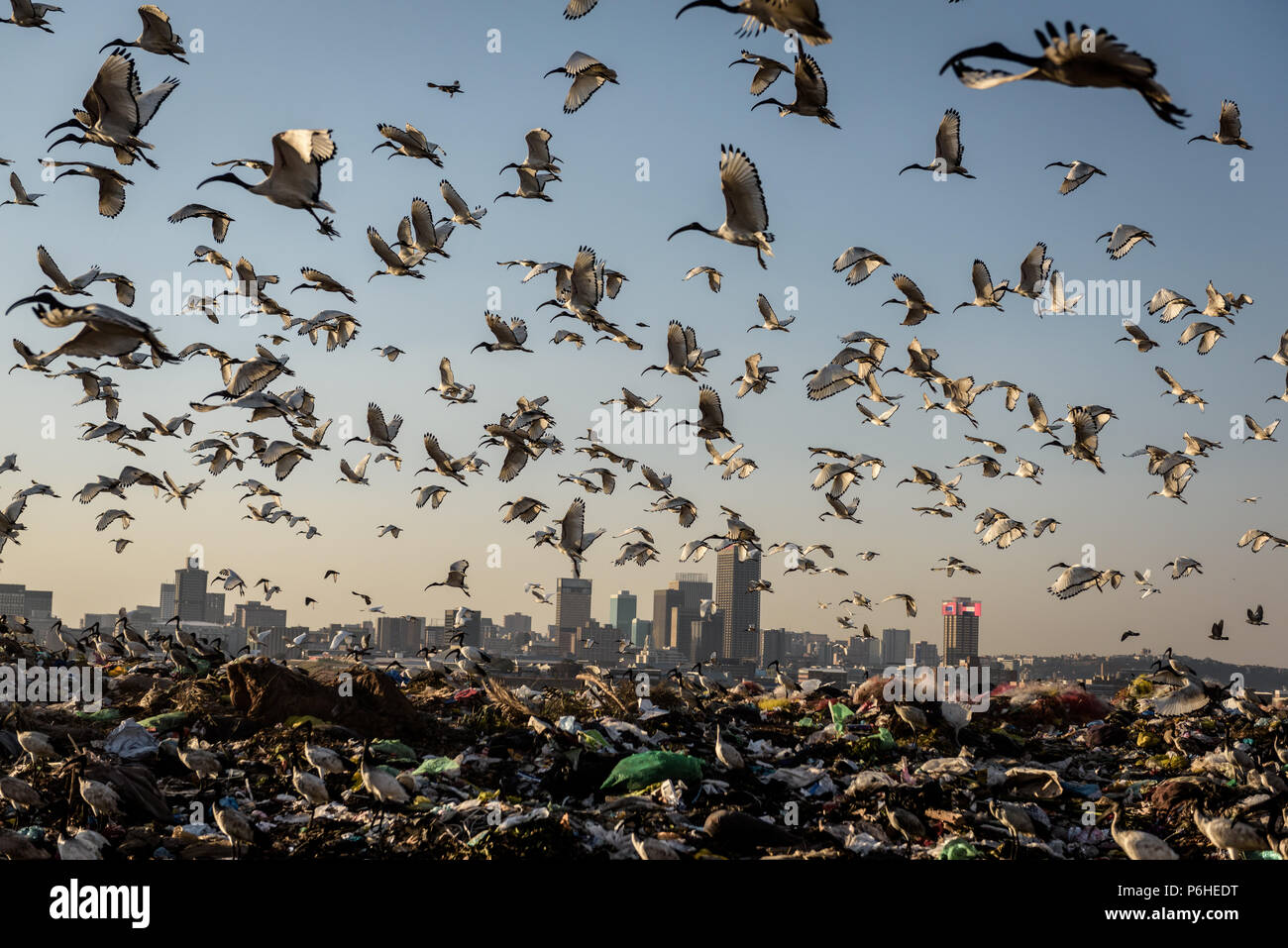 South Africa's Robinson Deep landfill near Johannesburg's Turffontein race course has been colonised by Sacred Ibis - Stock Image