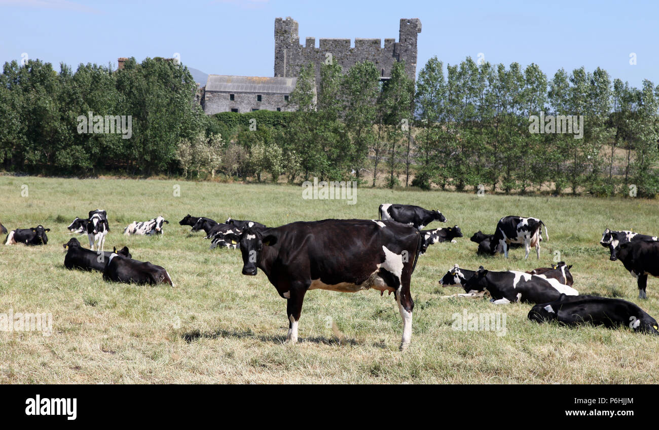 Friesian cows on pasture in the coastal village of Greencastle, Co. Down - Stock Image