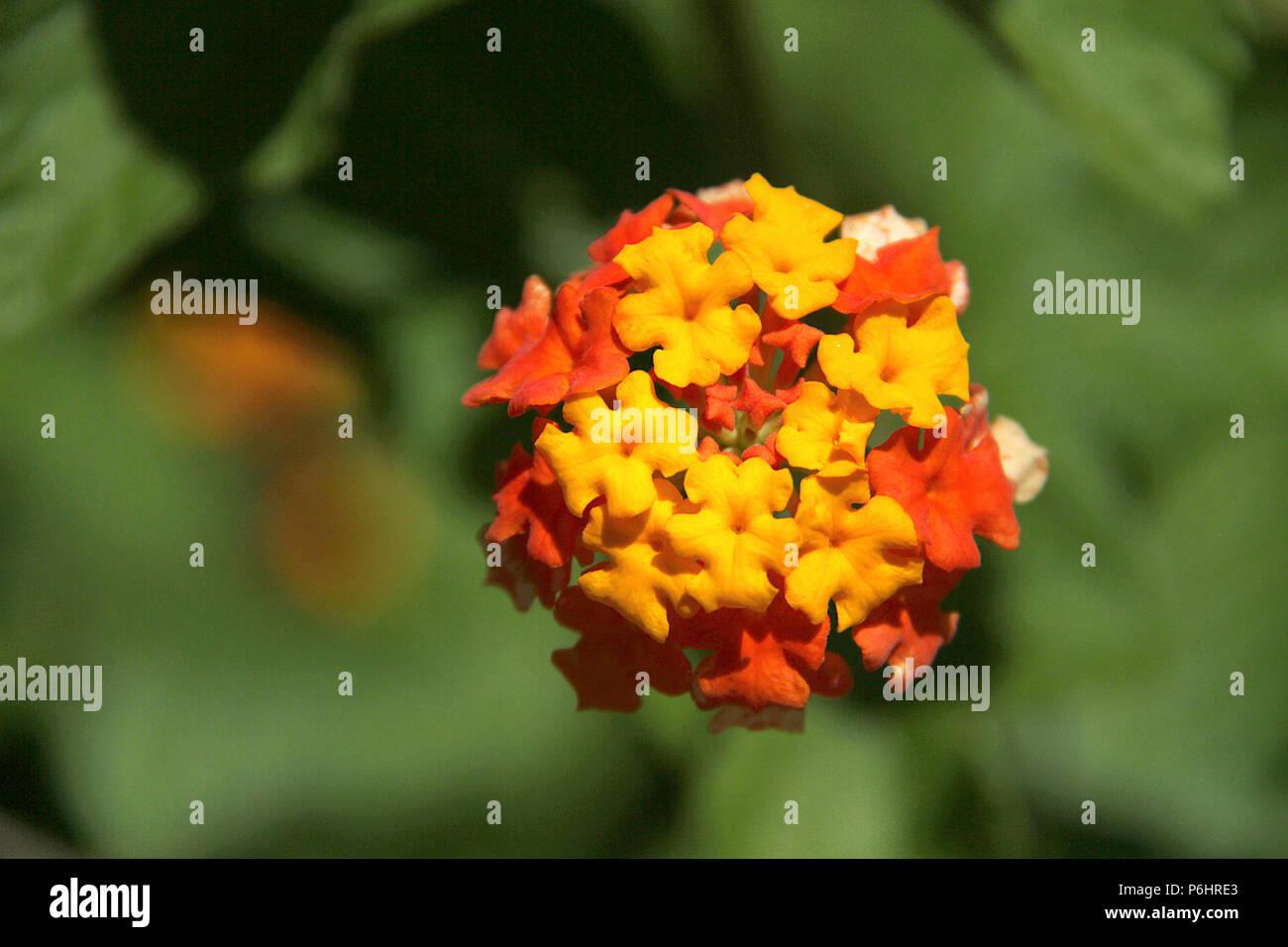 Close up of beautiful Lantana Camara in bloom Stock Photo