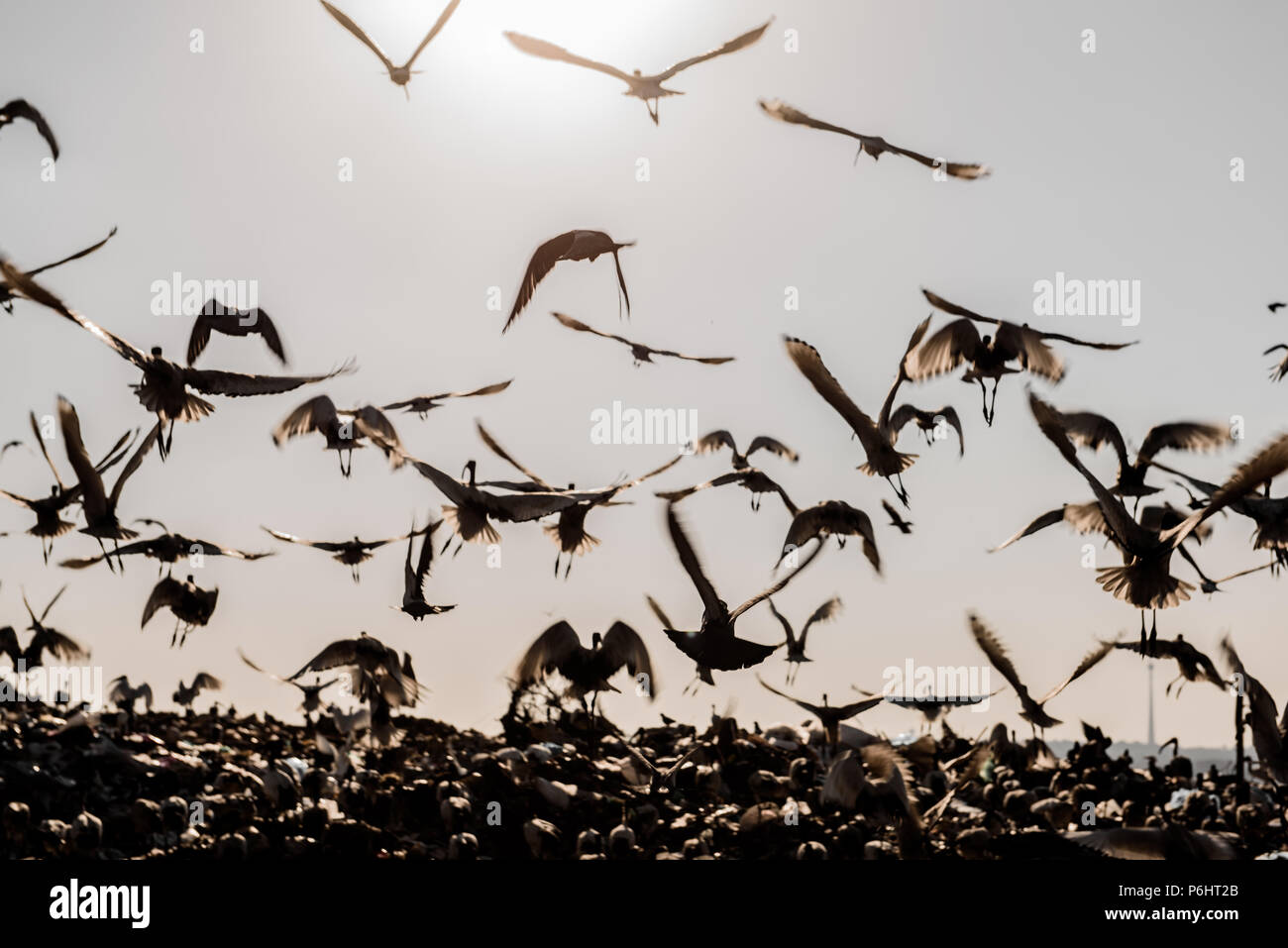 Sacred Ibis foraging on the Robinson Deep landfill in the South African commercial capital of Johannesburg - Stock Image