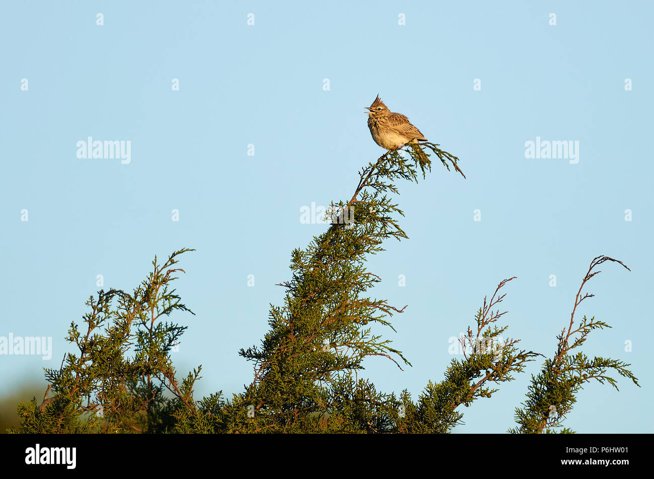Iberian Thekla's lark (Galerida theklae theklae) over a Juniperus branch in Can Marroig in Ses Salines Natural Park(Formentera,Balearic islands,Spain) - Stock Image