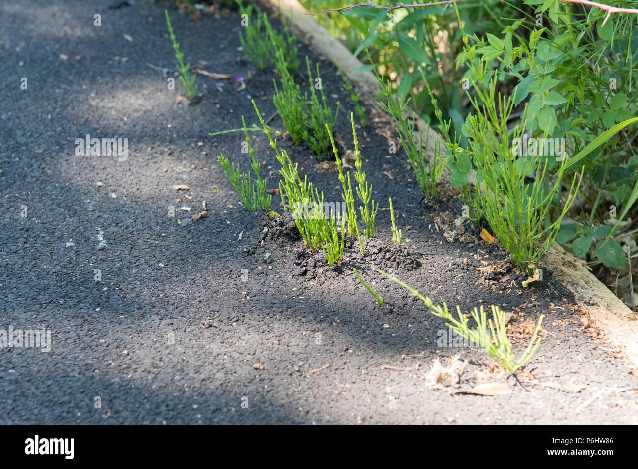 Horsetail weed - equisetum arvense - growing through tarmac - Scotland, UK - Stock Image