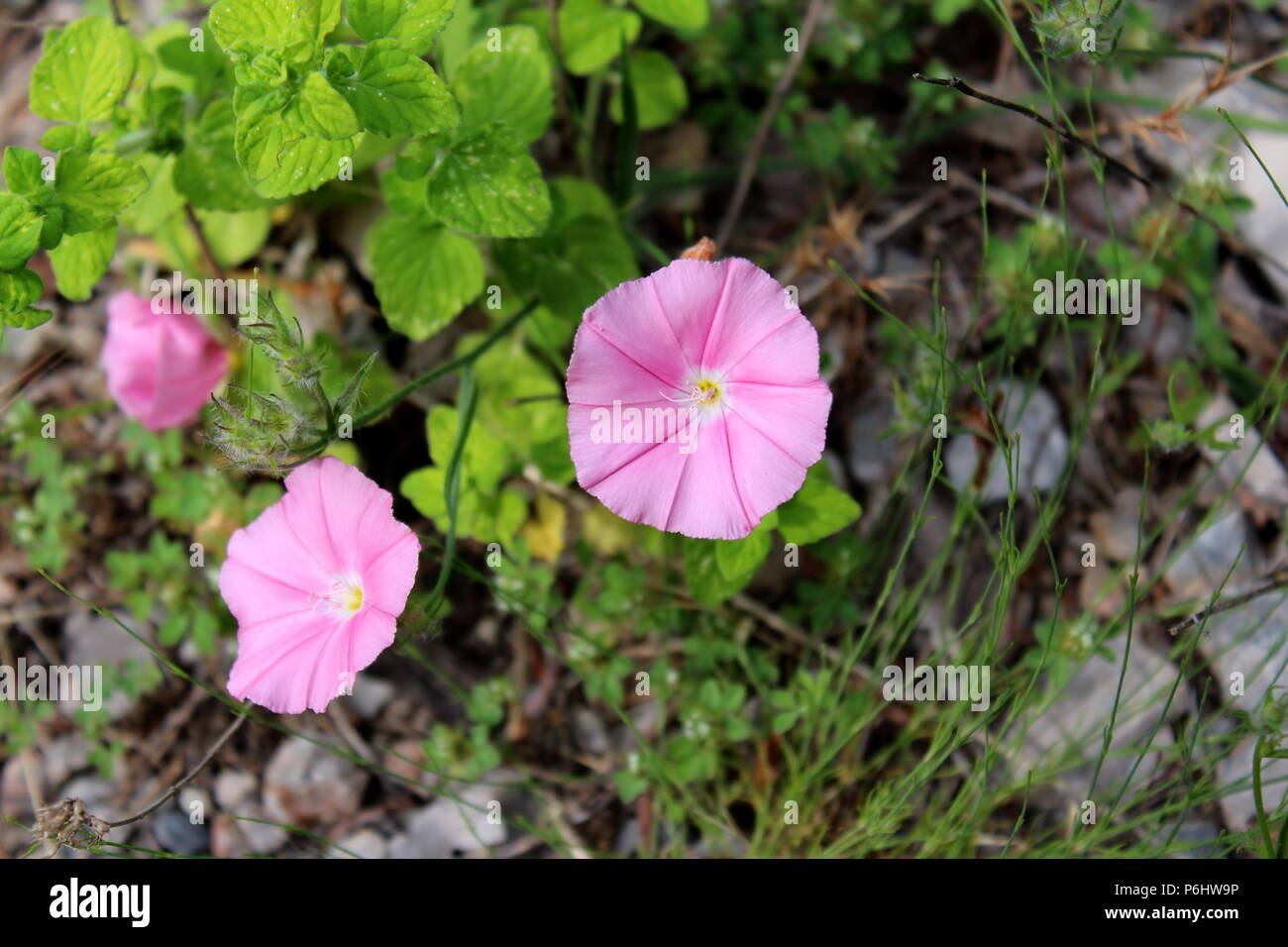 Field Bindweed Or Convolvulus Arvensis Pink Flowers With Green