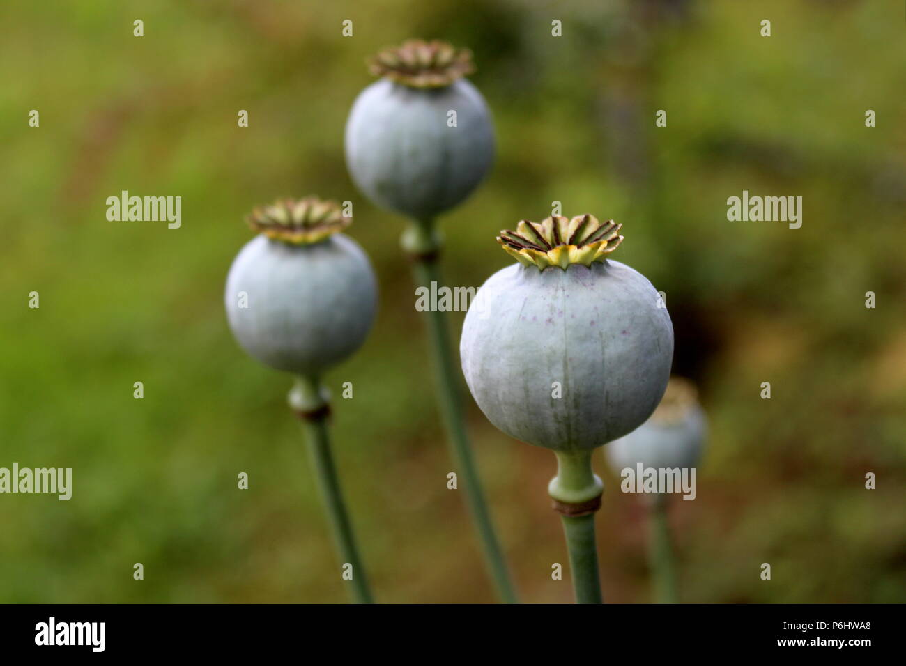 Opium poppy or Papaver somniferum or Breadseed poppy flower buds in local garden on dark green leaves background on warm sunny day - Stock Image
