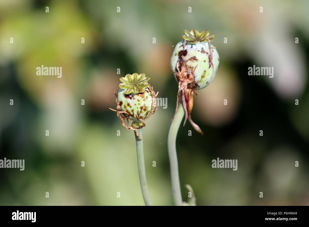 Opium poppy or Papaver somniferum or Breadseed poppy flower buds with dried leaves and cobweb in local garden on warm sunny day - Stock Image