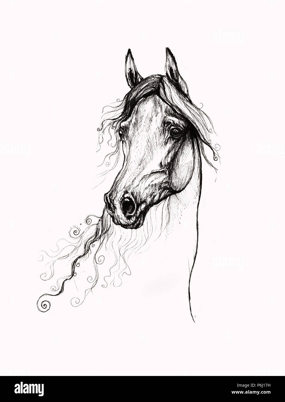 Arabian Horse Portrait Drawing Stock Photo Alamy