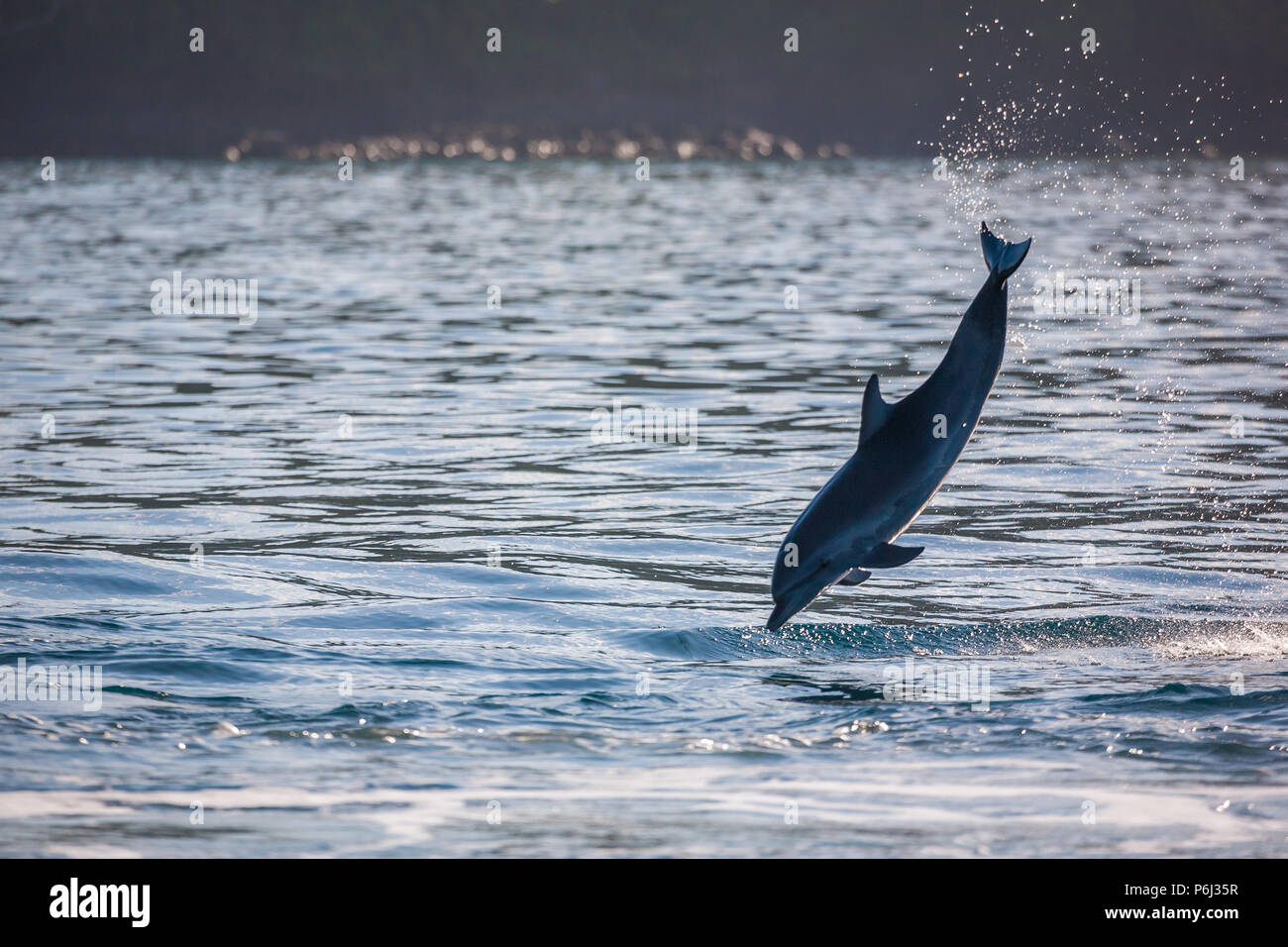 Jumping Spotted Dolphin in Isla Coiba national park, Pacific coast, Veraguas province, Republic of Panama. - Stock Image