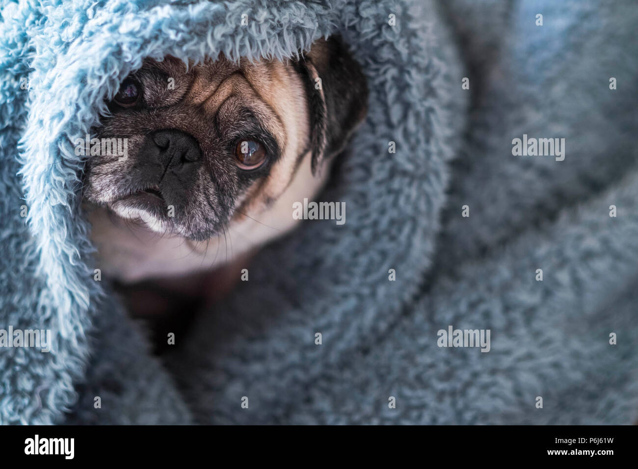 nice beautiful hidden dog pug play and stay durious in a blue cover at home looking at you. winter scene with cold - Stock Image