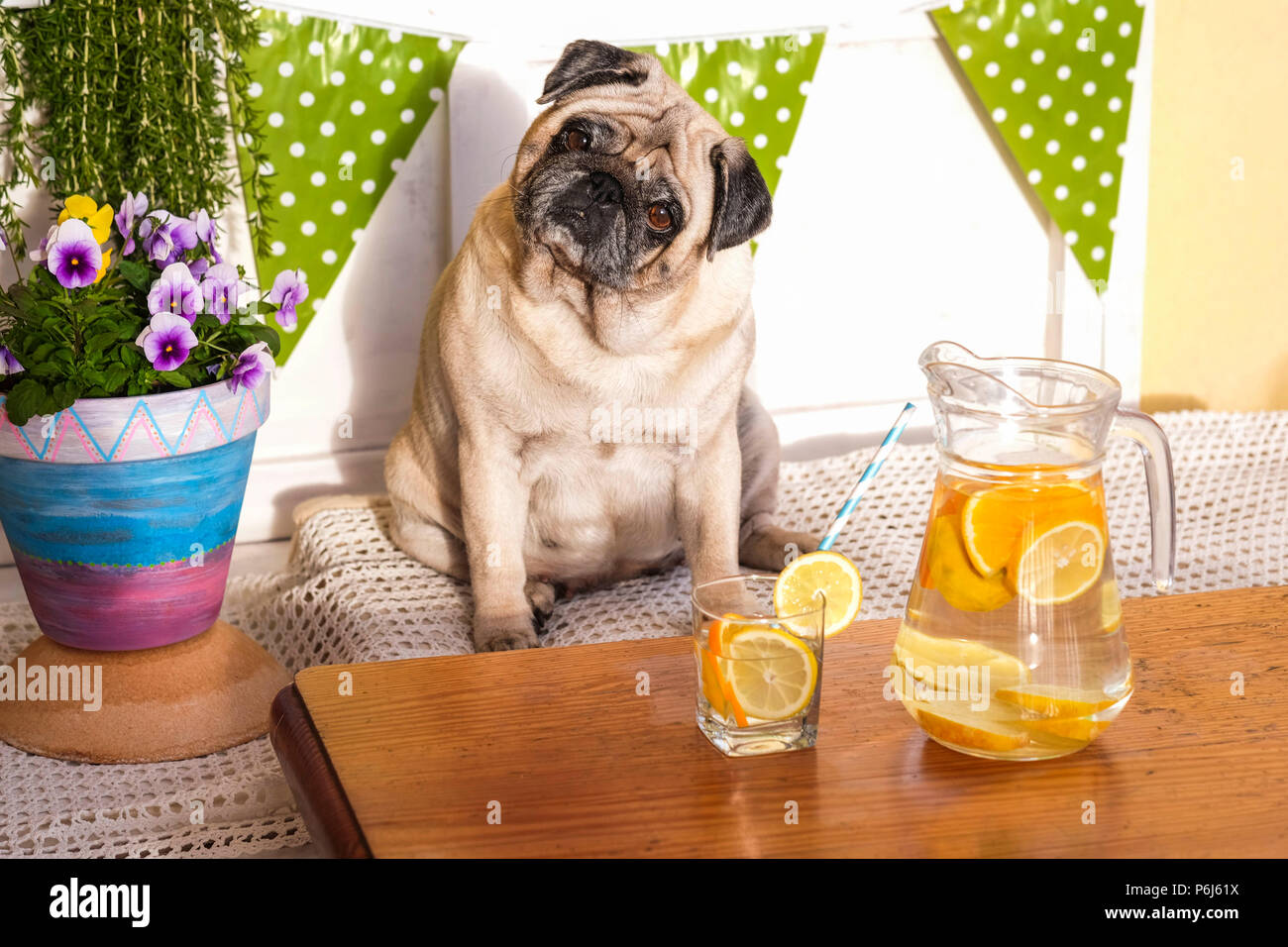 weight loss with diet concept. fat beautiful pretty pug dog sitting on a bench outdoor in terrace with water and lemon in front of him - Stock Image