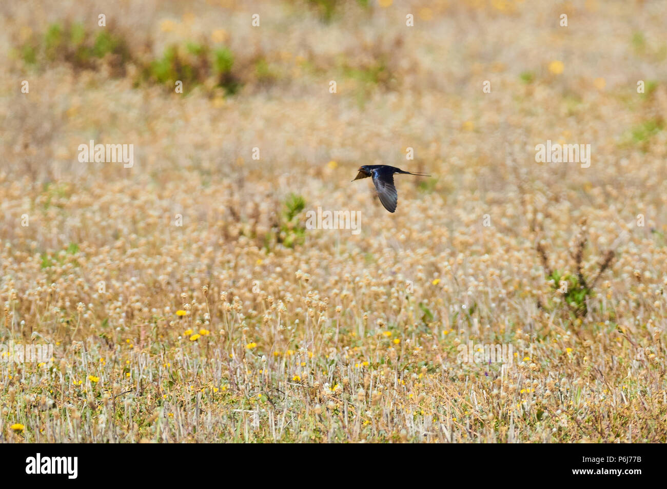 Barn swallow (Hirundo rustica) flying over a blooming grass field in Can Marroig in Ses Salines Natural Park (Formentera, Balearic islands, Spain) - Stock Image