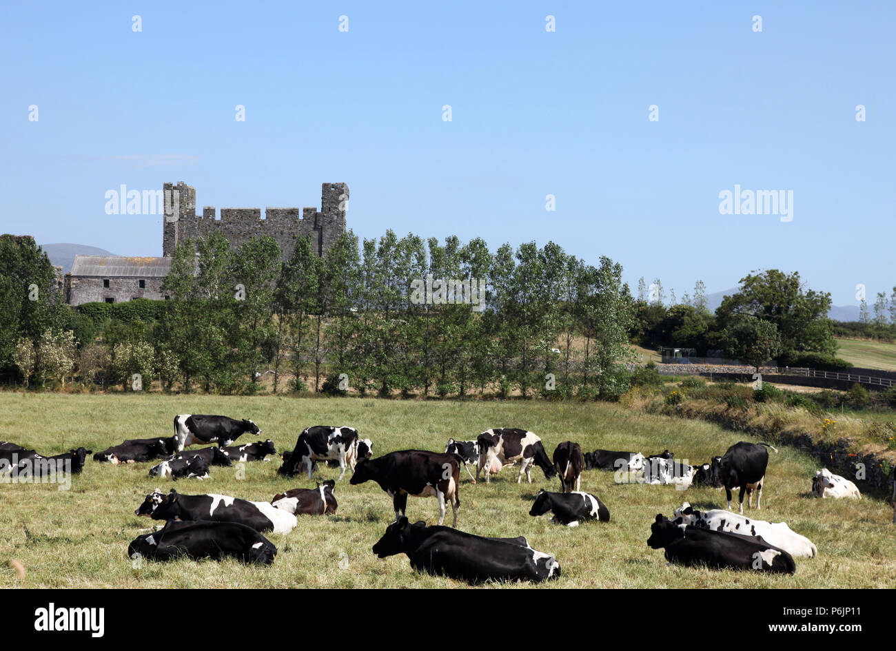 Herd of milking cows in pasture, Greencastle, Co. Down, Northern Ireland - Stock Image