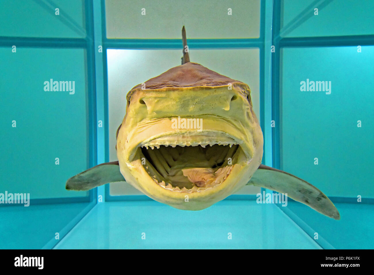 Great North Hancock Museum Newcastle Damien Hirst Shark In Formaldehyde Stock Photo Alamy