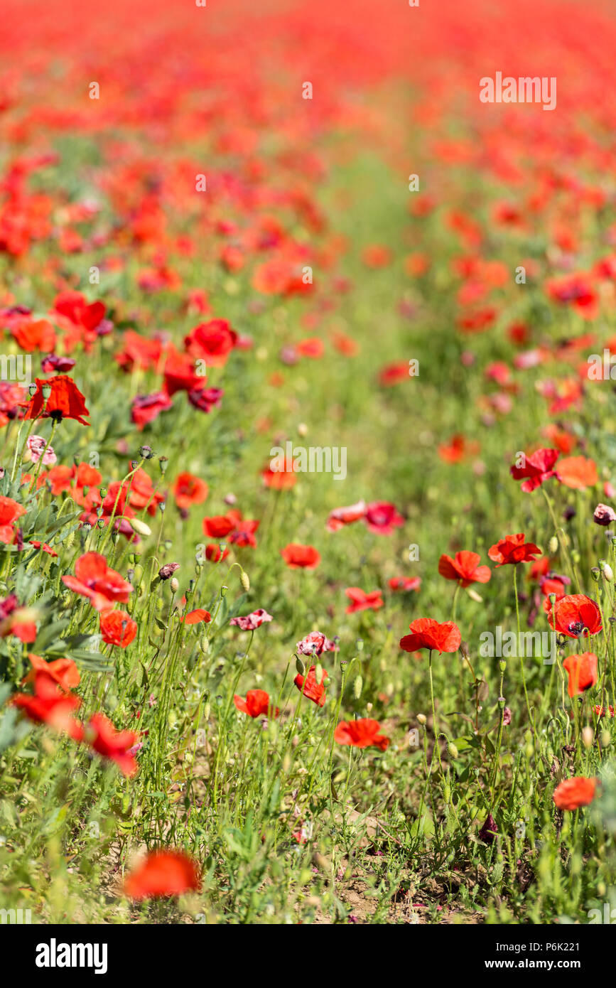 field of red poppy flowers or poppies. Stock Photo