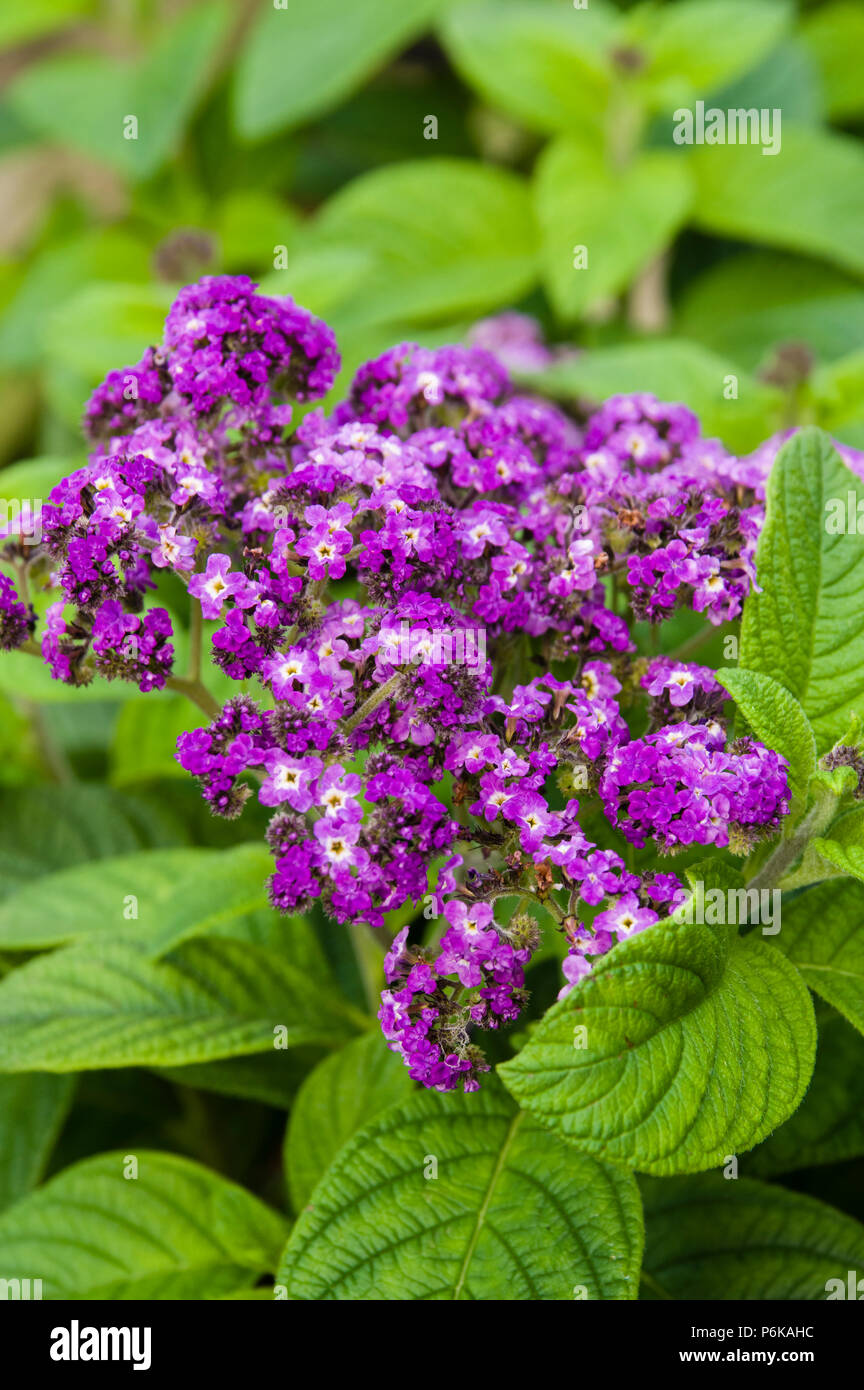 Heliotrope Plants In Bloom With Blue Flowers Stock Photo 210637768