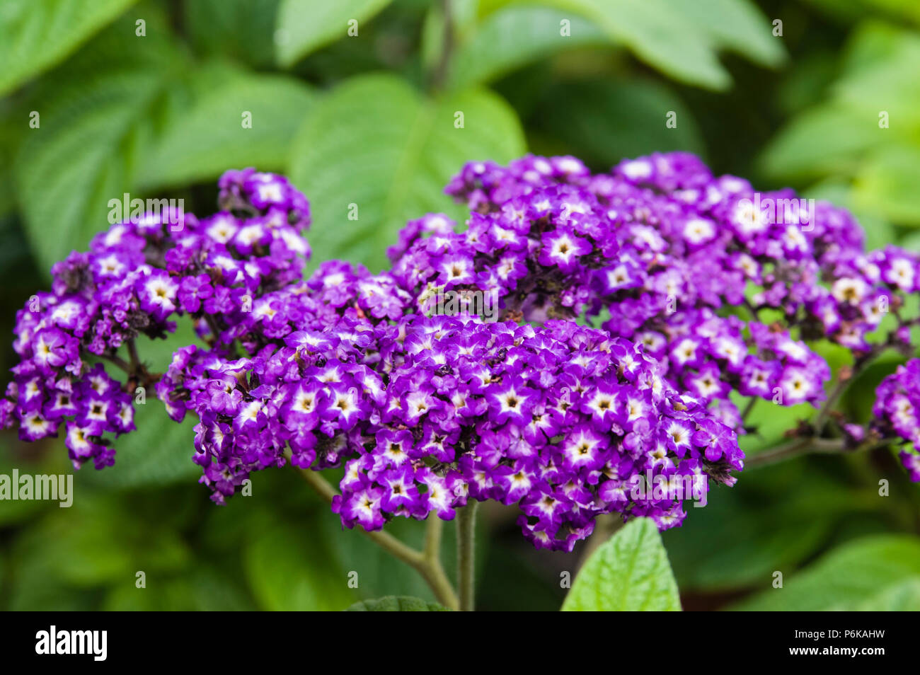 Heliotrope Plants In Bloom With Blue Flowers Stock Photo 210637781