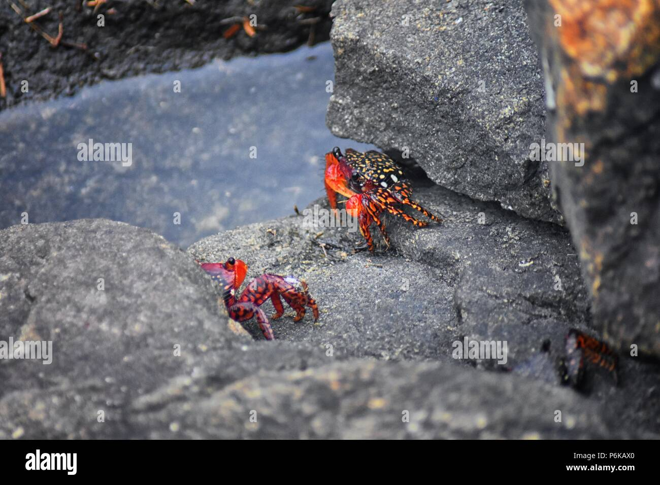 Sally Lightfoot Crab or red rock crab, scientific name Grapsus grapsus on rocks in Puerto Vallarta Marina, Mexico. Close up view. Stock Photo