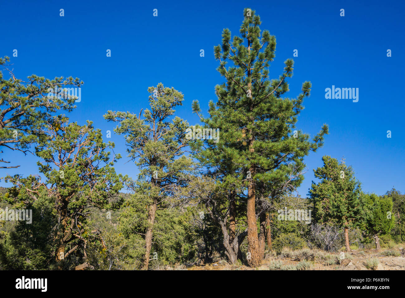 Line of evergreen trees in the mountains of southern California overlooking Los Angeles and San Bernadino. - Stock Image