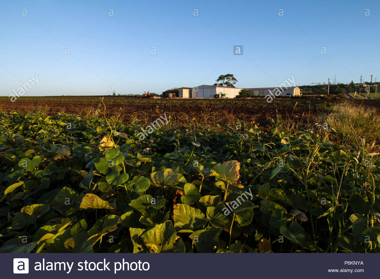 Rows on a farm showing sweet potatoes growing at Bundaberg in Australia. - Stock Image