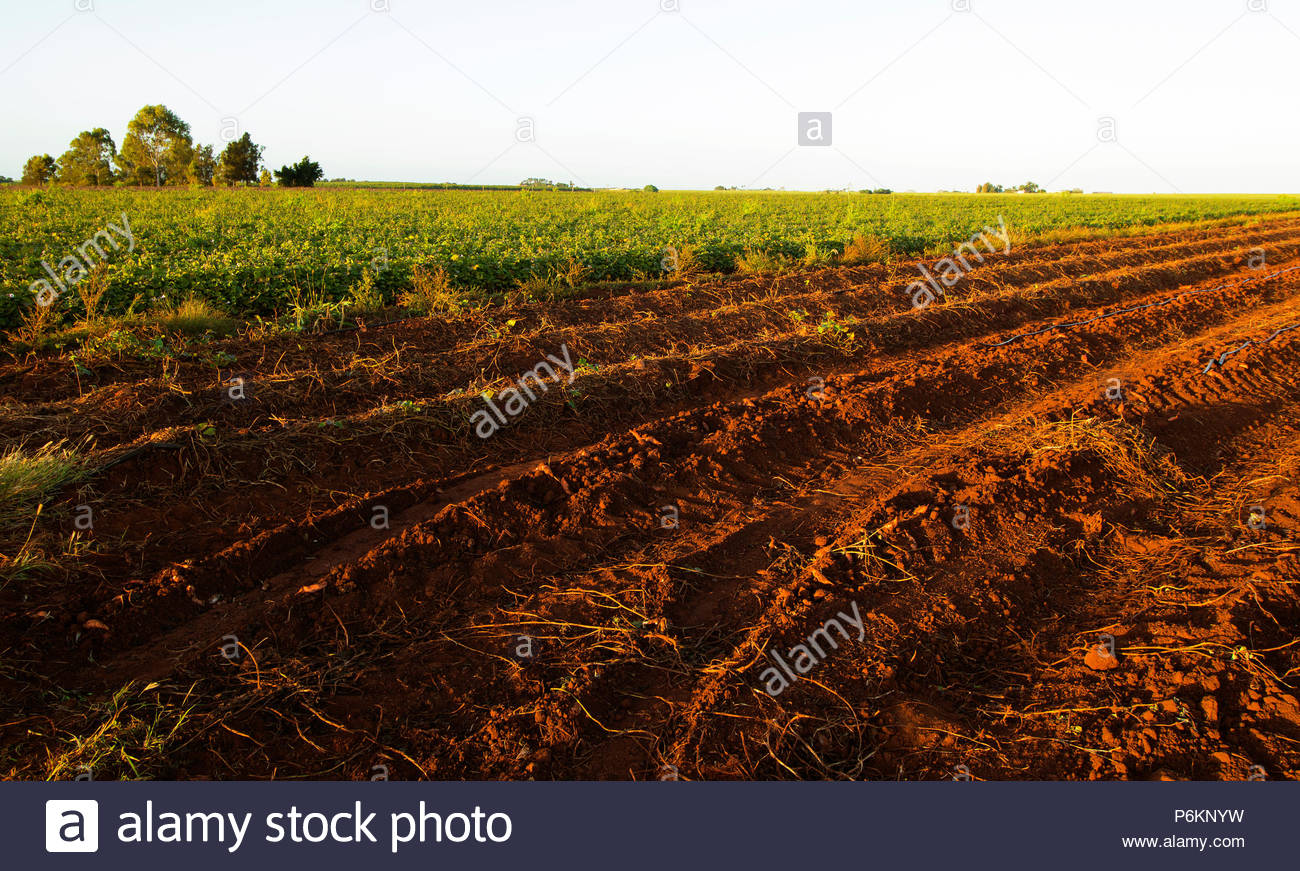 Rows on a farm showing harvested ground and sweet potatoes growing at Bundaberg in Australia. - Stock Image