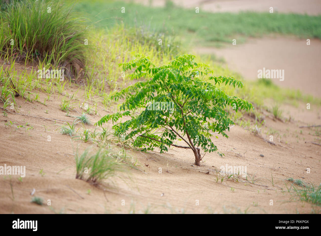 Small tree growing in sand with assorted grasses - Stock Image