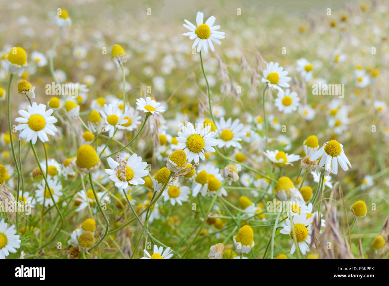 White And Yellow Chamomile Daisies In Meadow Floral Background The