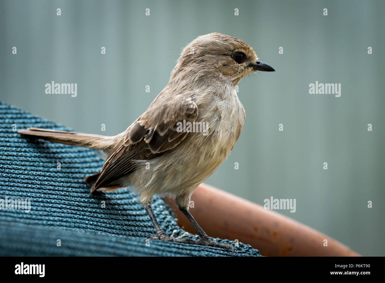 Pale flycatcher perched on sunshade facing right - Stock Image